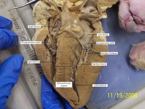 Printables Sheep Heart Dissection Lab 1000 images about dissection class on pinterest human anatomy labeled sheep heart picture 4 via flickr