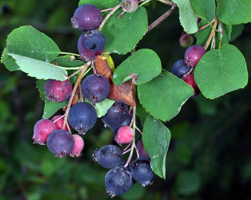 Amélanchier à feuilles d'aulne (Amelanchier  Alnifolia).