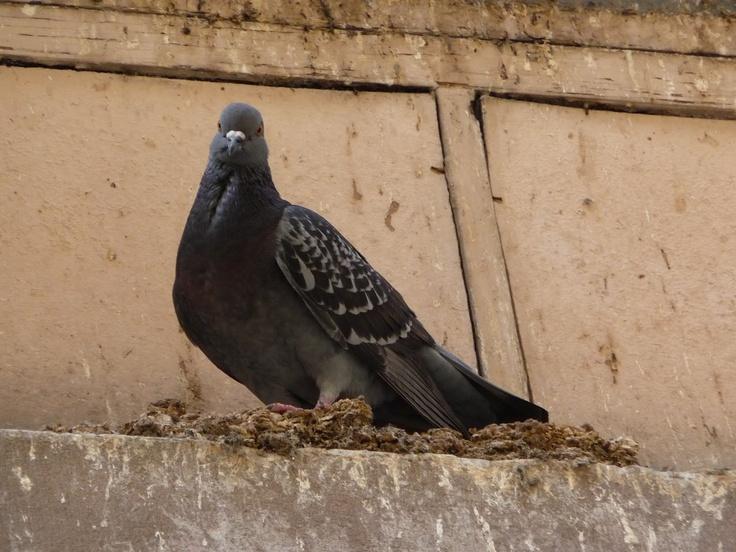 #Pigeon birds Strasbourg (France)  Photo: Shehrazad: Appareil Photographiqu, Pigeon Birds, Pigeons Colombes, Strasbourg Pigeon