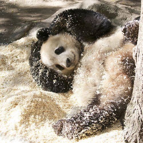 Bai Yun plays in the pine shavings | Flickr - Photo Sharing!