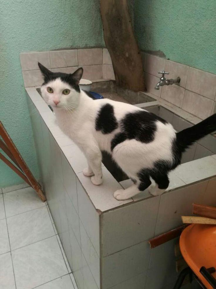 Gato En Adopción Bogotá Adopcion Colombia Gatitos En Adopción Adopcion Gatos