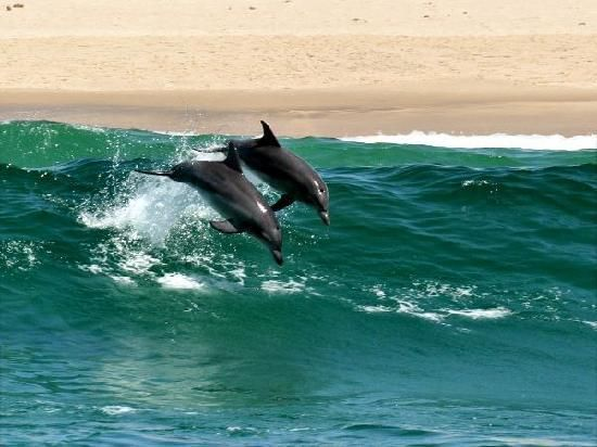 Surfing Dolphins https://www.facebook.com/pages/Mansfield-By-The-Lake-Bed-Breakfast-Forster-NSW/171100216279770