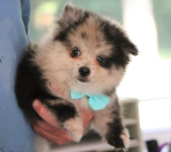 Tj Male Teacup Pomeranian Puppies For Sale Sydney Nsw Australia