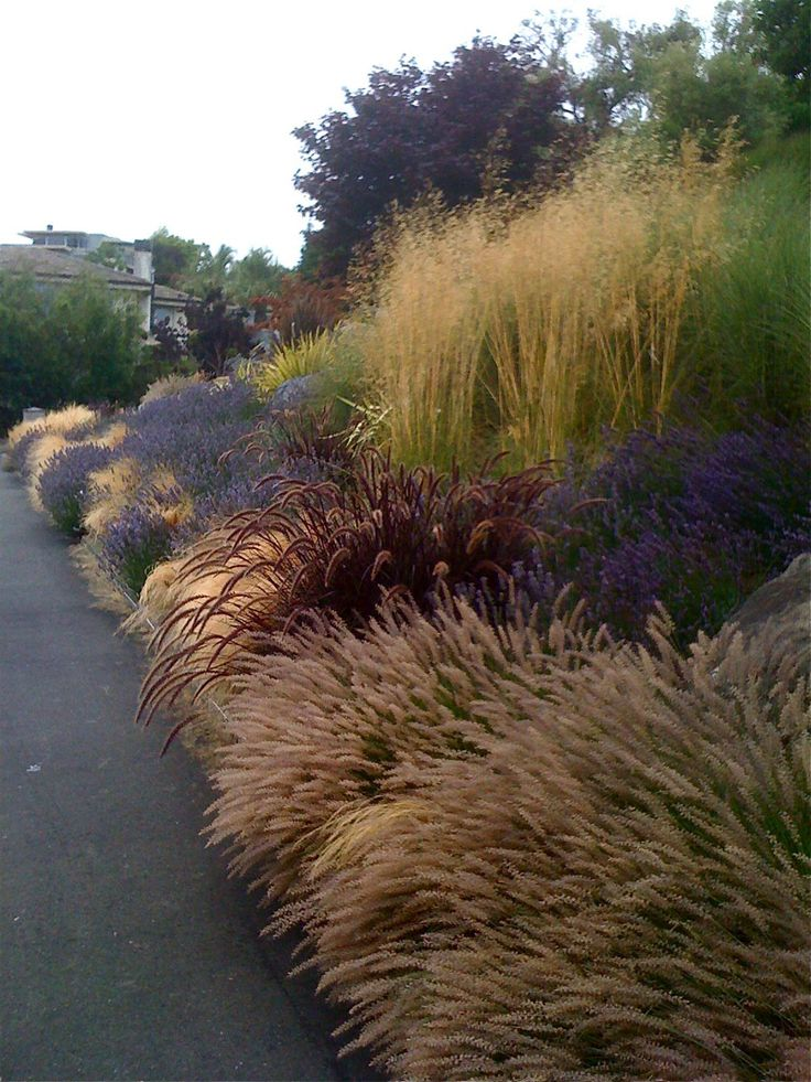 Front driveway: Pennisetum orientalis, Pennisetum setaceum Rubrum, Stipa tenuissima, Lavandula Provence, Stipa gigantea.