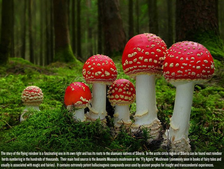 The Incredible History Of The Santa Claus Myth: From Prostitution To Magic Arctic Mushrooms BY BRENT LAMBERT • DECEMBER 24, 2011 • HISTORY • COMMENTS (0) • 1699  Share on FacebookTweet about this on TwitterPin on PinterestShare on StumbleUponEmail this to someoneShare on Google+Share on RedditShare on LinkedInDigg thisShare on TumblrFlattr the authorBuffer this pageShare on VKShare on YummlyPrint this page It was just over a year ago when I wrote the following piece on the mythology of…