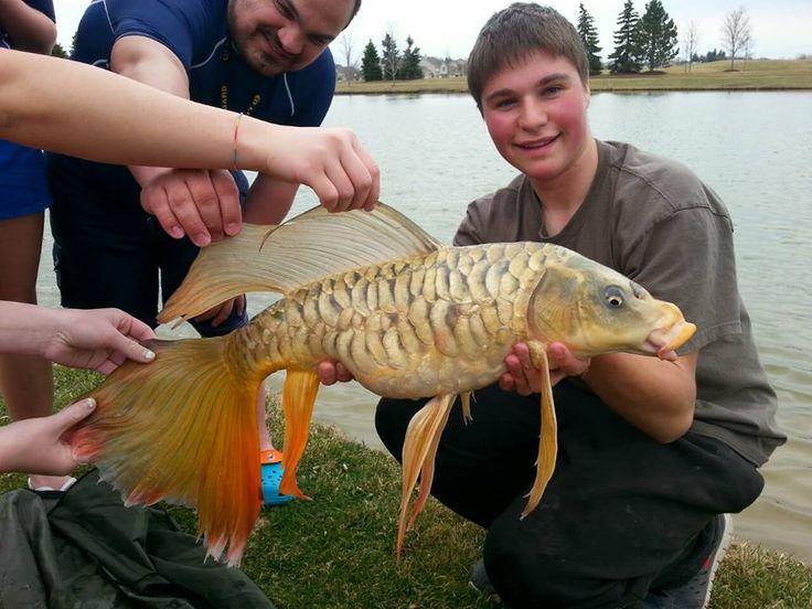 36 best carp pics images on pinterest carp fishing carp for Croisement carpe koi poisson rouge