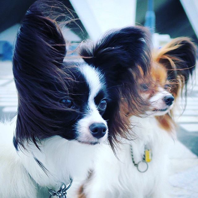 Good morning! . . なんて涼しいんでしょう‼︎ . #梅雨明け秒読み#dog#dogs#dogsofinstagram #dogstagram #doggy #dogwalking #doglovers #papillon #papillons #パピヨン #犬 .2016.7.23