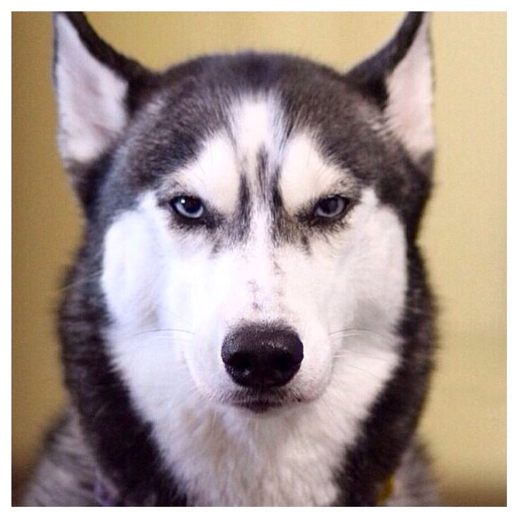 883 best images about Husky Dogs on Pinterest | Huskies ...