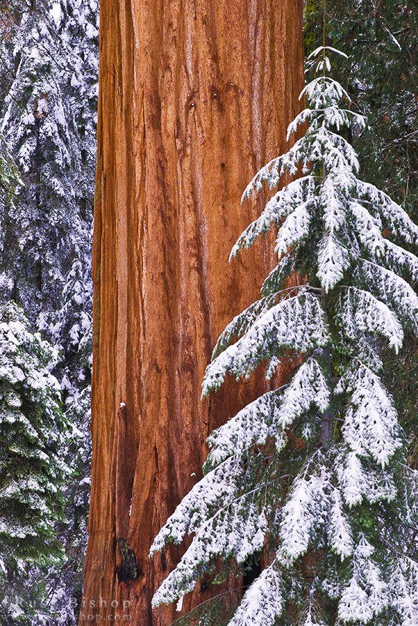 """The Gatekeeper""(Giant,Forest,Sequonia Natjonal Park California USA)*-*."