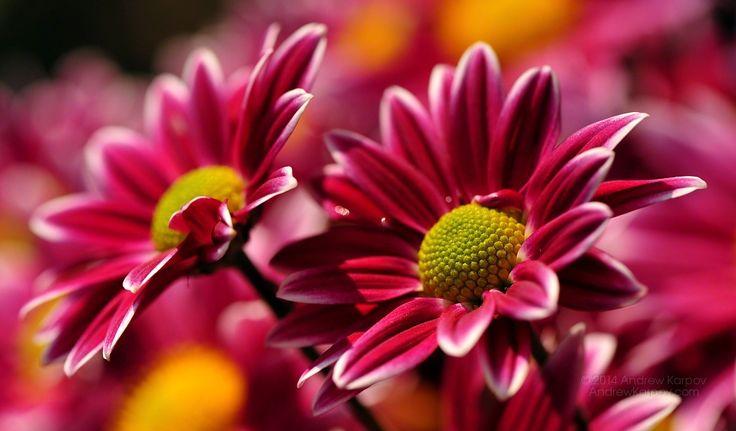 Mooie chrysant bloem achtergrond 1024x600. Gratis bureaublad achtergronden 1024 x 600 #715
