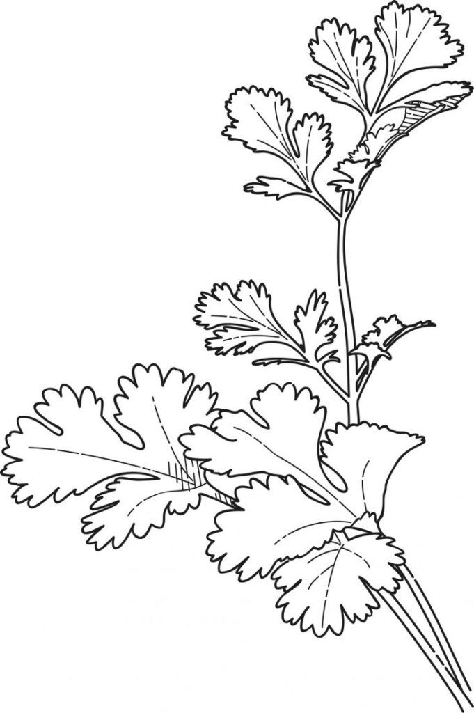 herbs coloring pages - photo#26