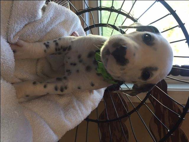 Litter of 9 Dalmatian puppies for sale in HEADLAND, AL. ADN-49475 on PuppyFinder.com Gender: Female. Age: 4 Weeks Old
