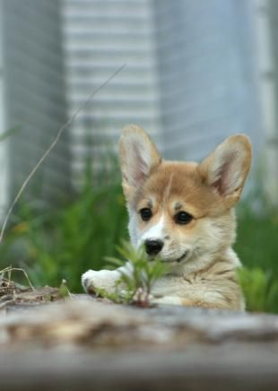 Oh! Precious Corgi Puppy!   ©Juliana du Pree, Curig & FaerieTale Pembroke Welsh Corgis