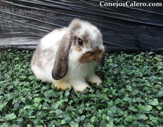 Mini lop conejo belier miniatura