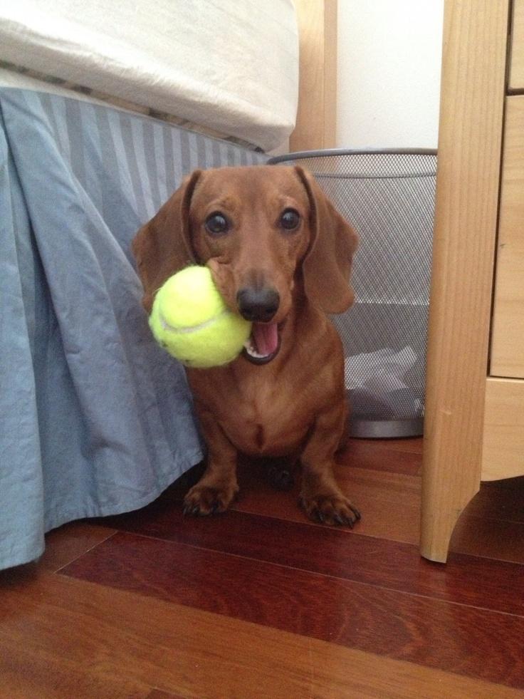 Resultado de imagen para dachshund balls