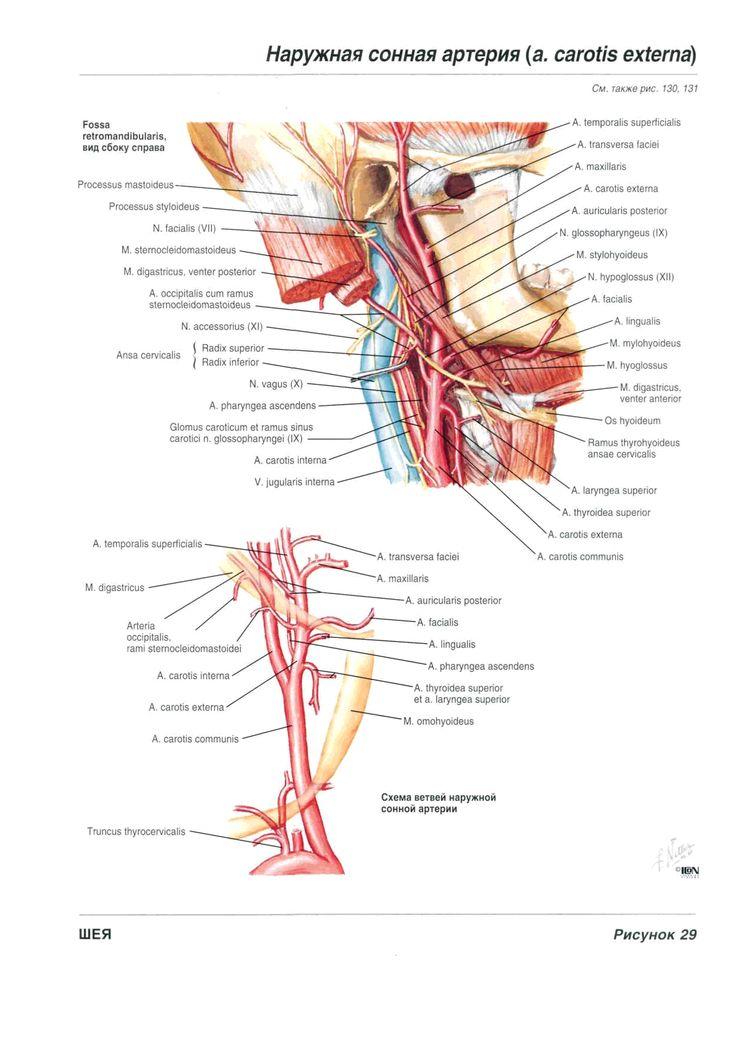 18 best anatomy images on Pinterest | Anatomy, Neurology and The brain