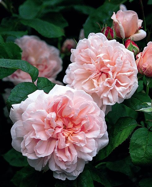 Buy rose Eglantyne (shrub) Rosa 'Eglantyne = 'Ausmak' (PBR)': Delivery by Crocus.co.uk
