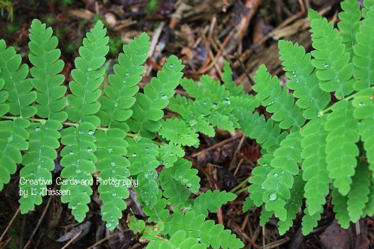 Ferns. I love ferns. I was inspired to go for a walk just after it rained and brought my camera because I loved the lighting. I came across these along the forest floor. Creative Cards and Photography by L. Thiessen @ThiessenCards