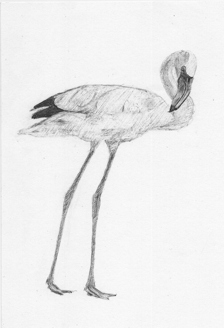 https://flic.kr/p/GawGf6 | Flamingo | Drawing of flamingo with Bic pencil after photograph from National Geografic Junior. / w15-1