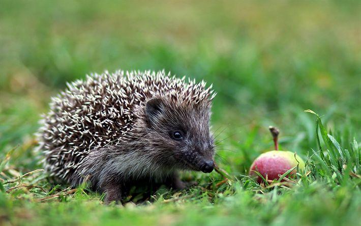 Lataa kuva siili, metsä, vihreä ruoho, apple, söpöjä eläimiä
