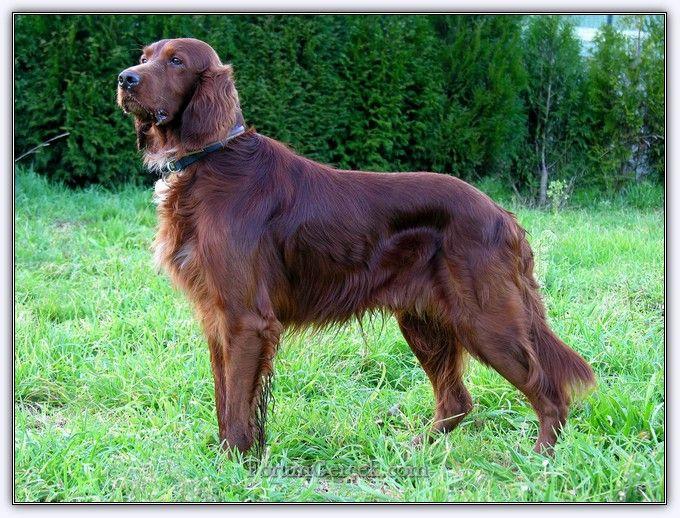 Av Köpekleri | Avcının Dostu - Forum Gerçek