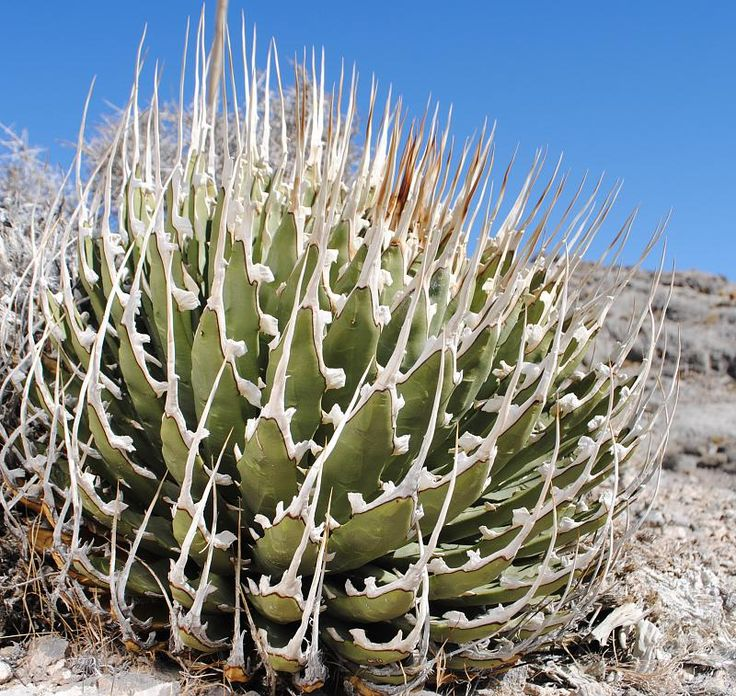 I did not want to start collecting agaves. Many become very large, and because of their excruciating armaments you basically need to wear armor to work with/around them. And yet... so friggin' awesome! This fantastic organism is Agave utahensis... another new object of plant lust.