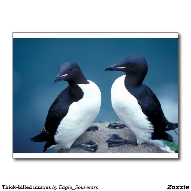 Thick-billed murres postcard  #thick #billed #murre, #alaska, #wildlife, #seabird, #nature, #bird, #island, #coast, #usa, #america #postcard