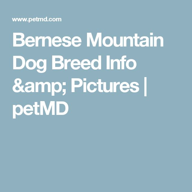 Bernese Mountain Dog Breed Info & Pictures   petMD