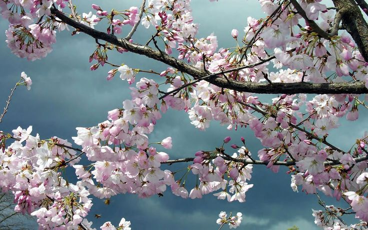 Sakura Flowers Download Pictures Wallpaper