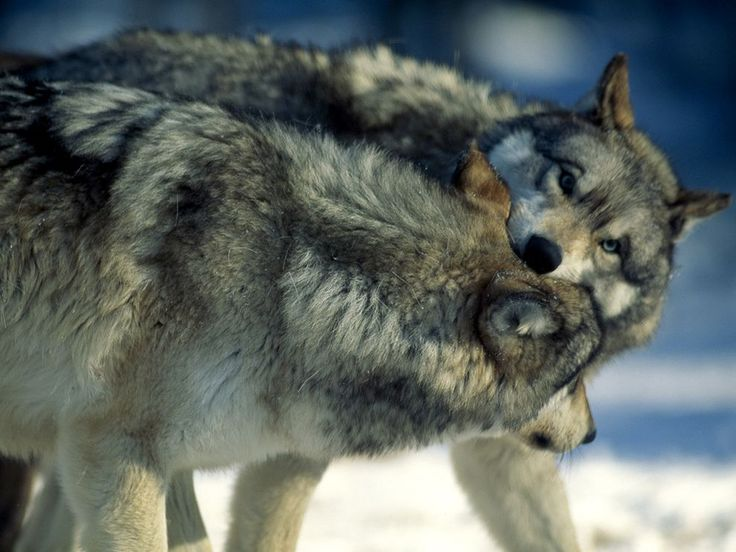 No. 21- Take photos of wolves in Mercy Falls, Minnesota