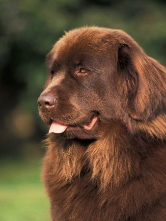brown newfoundland - Google Search