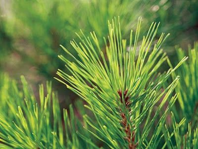 Domácí odvar z listu borovice (proti nachlazení) |