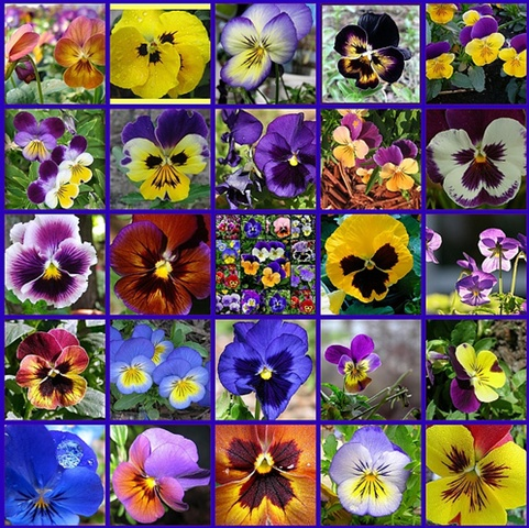 pansy colors