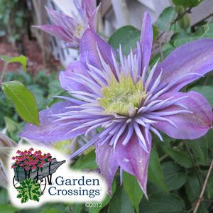 Buy Clematis Crystal Fountain Perennial Vines Online. Garden Crossings Online  Garden Center Offers A Large