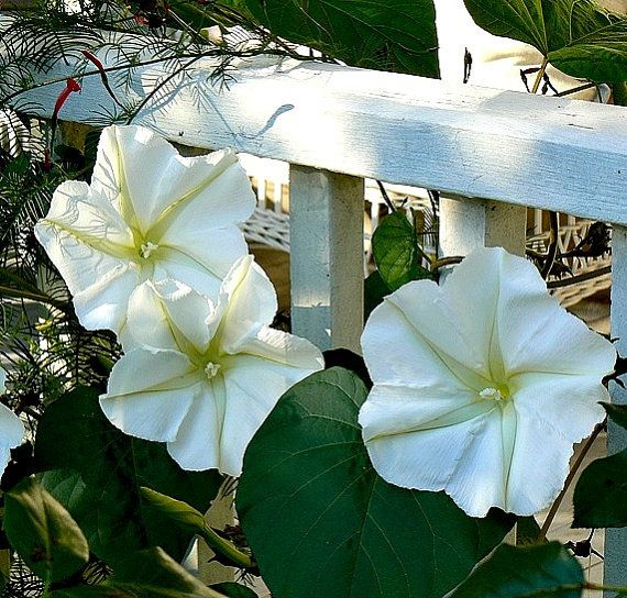 A Widespread Noxious Cool Season Annual: 14 Best Images About Moonflower