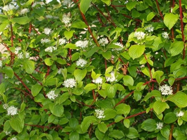 cornus alba sibirica google search walled garden. Black Bedroom Furniture Sets. Home Design Ideas