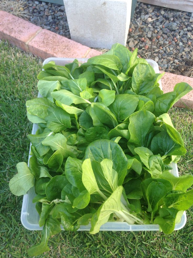Baby Bok Choi. Grew a batch and sold it to a vendor in a farmer's market. His buyers asked for more. Perfect excuse to expand my system!