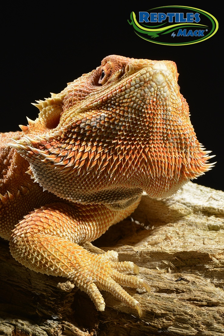 Red Bearded Dragons at Reptiles By Mack