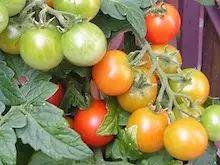 Tomatensamen selbst gewinnen Saatgut von Tomaten selber machen