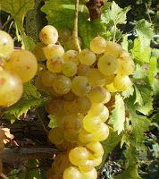 Piccolo Mondo : I Moscati -  Il vino porta alla luce i segreti nas...