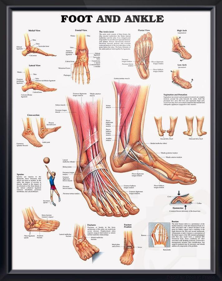 Foot and Ankle anatomy poster shows medial, frontal, lateral and plantar views as well as a cross section. Muscles chart for doctors and nurses.