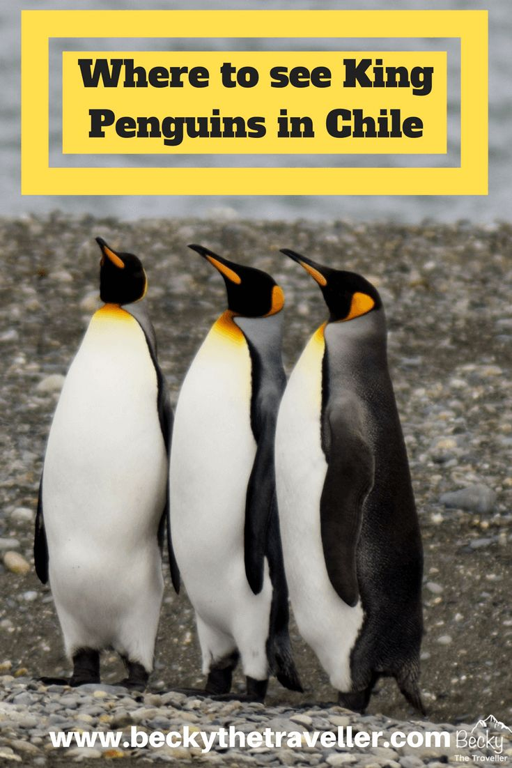 Where to see King Penguins in Chile