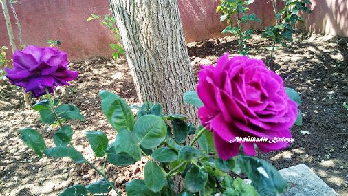BAHÇEM... Mon jardin...My GARDEN.. - Koleksiyonlar Google+  Bahçemden mor güller