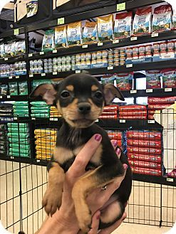 Gilbert, AZ - Miniature Pinscher/Chihuahua Mix. Meet Devan, a puppy for adoption. http://www.adoptapet.com/pet/18253247-gilbert-arizona-miniature-pinscher-mix