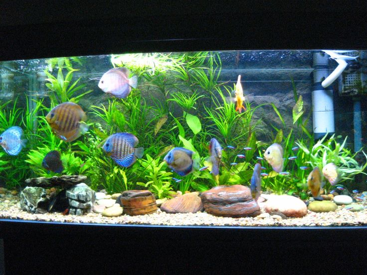 Best 25 discus aquarium ideas on pinterest discus fish for Live fish tank