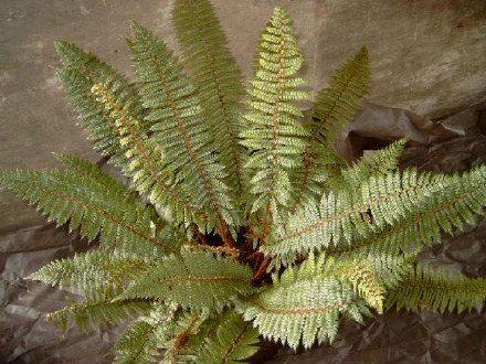 Polystichum vestitum - Prickly shield fern - Fronds New Zealand, suppliers of native New Zealand ferns, nz plants, nz trees, nz shrubs, landscaping ferns, nz ponga, nz ferns, exotic ferns, nz tree ferns, nz ground ferns, nz ponga pots, nz ponga troughs.
