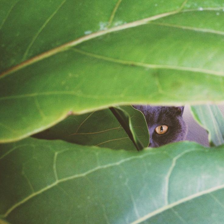#vscocam #cat #britishshort #hideandseek  photo from jinjing-deng.vsco.co