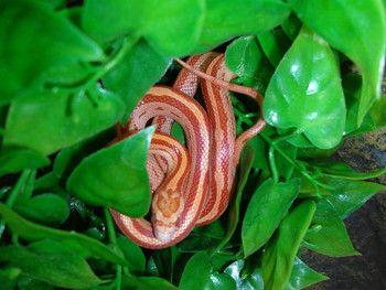 cornsnake = Kornnatter Sunglow rough striped motley