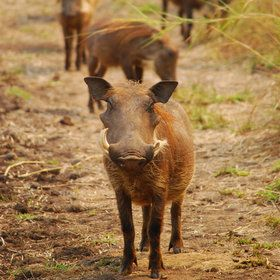 Gorongosa warthog