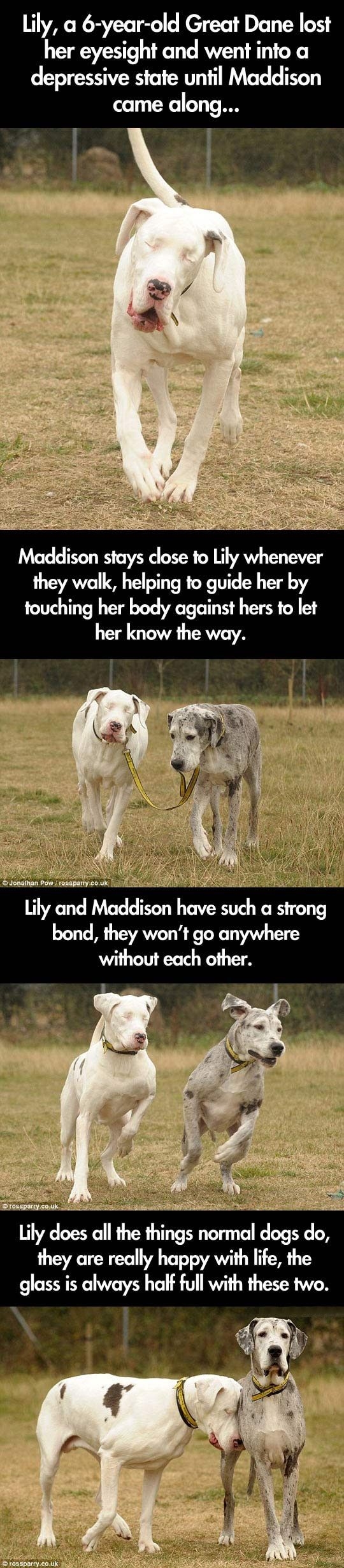 Blind Great Dane And Her Guide Dog // Funny Pictures   Funny Photos   Funny  Images   Funny Pics   Funny Quotes